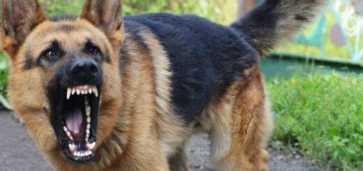 energetik 20170606 520x245 - В России появится перечень «потенциально опасных пород собак» и особые правила их содержания